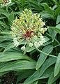 Allium victorialis kz05.jpg