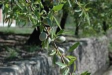 Миндаль дерево  orehiplusru