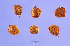 Alnus glutinosa seeds.jpg
