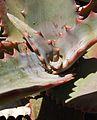 Aloe elgonica.jpg