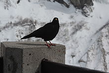 alpine bird on a post