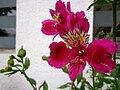 Alstroemeria flowers magenta.jpg