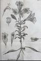 Alstroemeria pelegrina Linnaeus.png