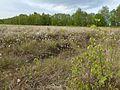 Am-Freistaetter-Moor suedliches-Wietingsmoor p1180465.jpg