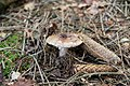 Amanita rubescens - Lage - 2014-06-15 - LIP-069 (15).jpg