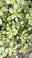 Amaranthus blitum.jpg