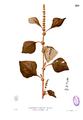 Amaranthus sp Blanco2.289.png