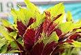 Amaranthus tricolor 1zz.jpg