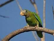 A green parrot with blue-edged wings, a light-brown forehead, and white eye-spots