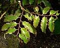Amborella trichopoda 2.jpg