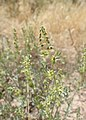 Ambrosia acanthicarpa kz16.jpg