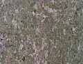 American Beech Fagus grandifolia Bark Closeup.JPG