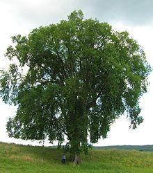 Shade tree - Wikipedia