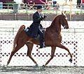 American Saddlebred .jpg