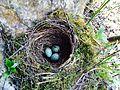 Amsel Eier im Netz 1.jpg