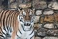 Amur-tiger.jpg