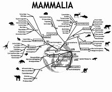 An evolutionary tree of mammals