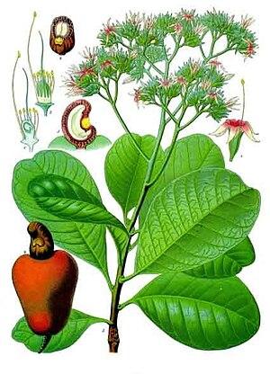 Cashew - 'Anacardium occidentale', from Koehler's 'Medicinal-Plants' (1887)