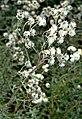 Anaphalis margaritacea - one plant (aka).jpg