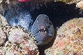 Anarrhichthys ocellatus.jpg
