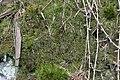 Anastrophyllum minutum (a, 142634-474025) 4359.JPG