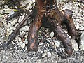 Ancient Myrtle-beech Root.jpg