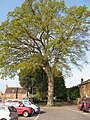 Ancient oak in car park - geograph.org.uk - 1265886.jpg