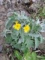 Andryala pinnatifida kz4.jpg