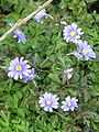 Anemone appenina - probably Petrovac (17064412575).jpg