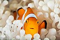 Anemone fish on bleached anemone, fukui, siladen, 2017 (34860139102).jpg