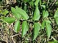Angelica sylvestris subsp. sylvestris sl20.jpg