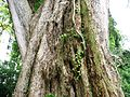 Angsana Tree at Youngberg Terrace 1.JPG