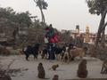 Animal compassion in Swayambhunath.png