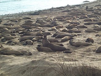 Año Nuevo State Marine Conservation Area - Elephant seals at Año Nuevo during the mating season in early February