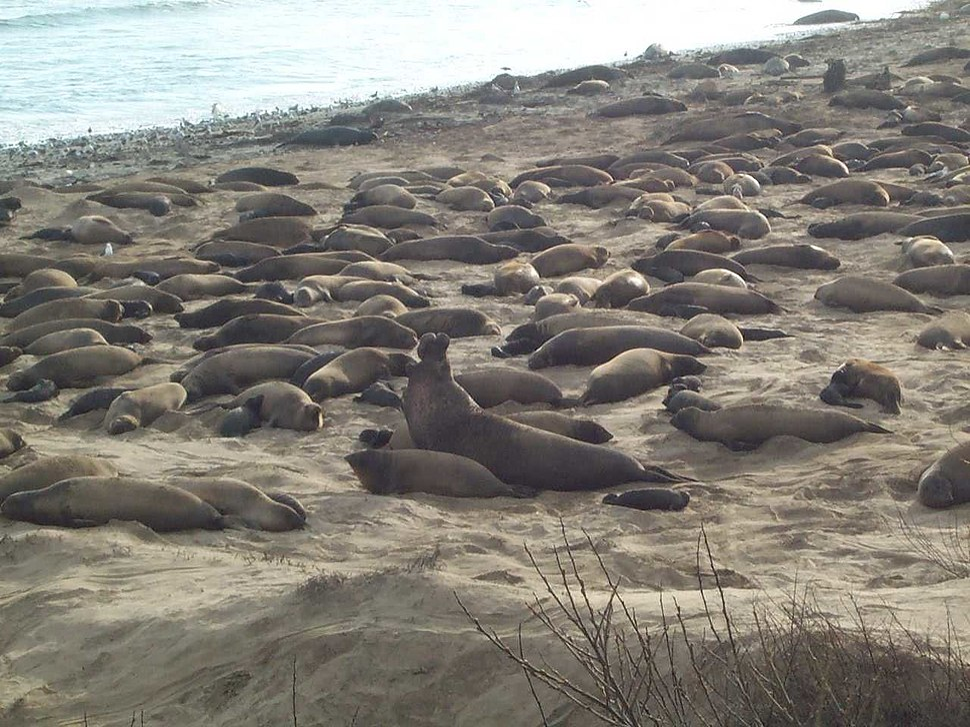 Ano Nuevo seals