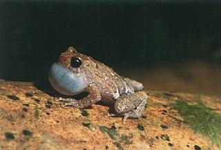 Cophylinae Subfamily of amphibians
