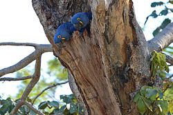 Anodorhynchus hyacinthinus -Mato Grosso do Sul, Brazil -nest-8 (2).jpg