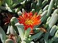 Antegibbaeum = Gibbaeum fissoides? (Aizoaceae) (4086822395).jpg