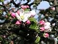 Apfelblüte - panoramio.jpg