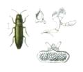 Aphanisticus pusillus.png