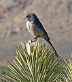 Aphelocoma californica Red Rock Canyon 1.jpg