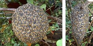 Apis florea - Image: Apis florea nest
