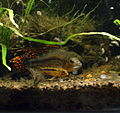 Apistogramma Cacatuoides Male and Female.jpg