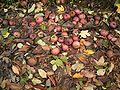 Apples in autumn 02 ies.jpg
