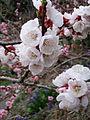Apricot Blossom Japan2.jpg