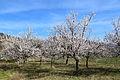 Aprikosenblüte bzw. Marillenblüte in der Wachau (Oberloiben).JPG