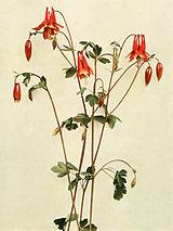 Aquilegia canadensis WFNY-065.jpg