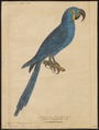 Ara hyacinthina - 1842-1855 - Print - Iconographia Zoologica - Special Collections University of Amsterdam - UBA01 IZ18500127.tif