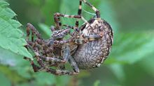 Файл:Araneus diadematus - mating behaviour - short.ogv