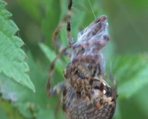 File:Araneus diadematus - mating behaviour - short.ogv